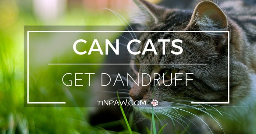 Can Cats Get Dandruff ?