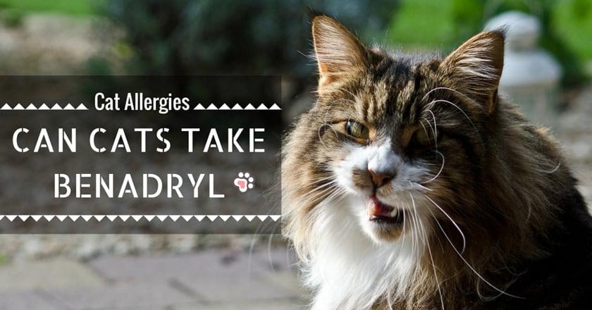 Cat Allergies : Can Cats Take Benadryl ?