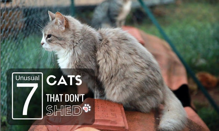 7 Unusual Cats That Don't Shed