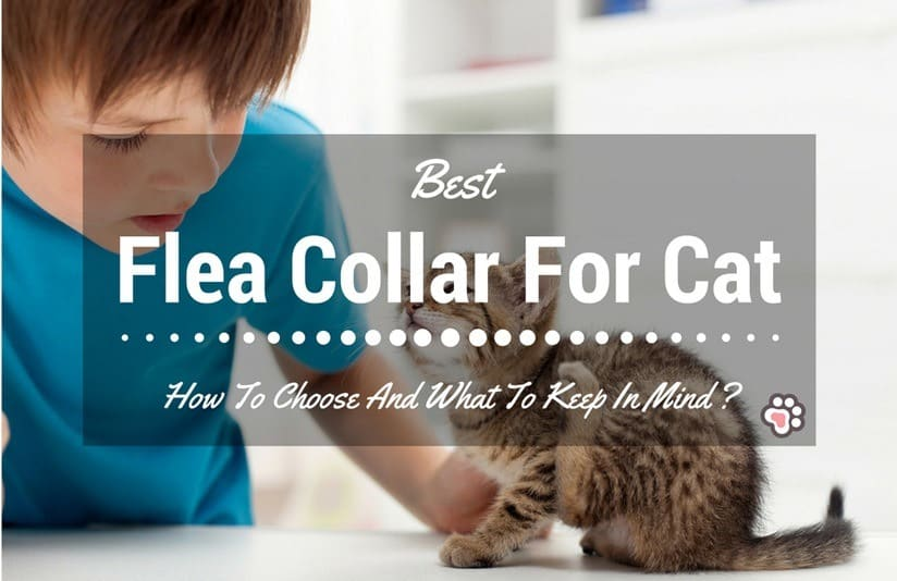 Best Flea Collar For Cats – How To Choose And What To Keep In Mind ?