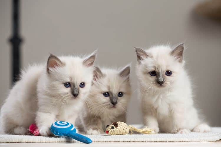 Birman Cats The Attractive Feline