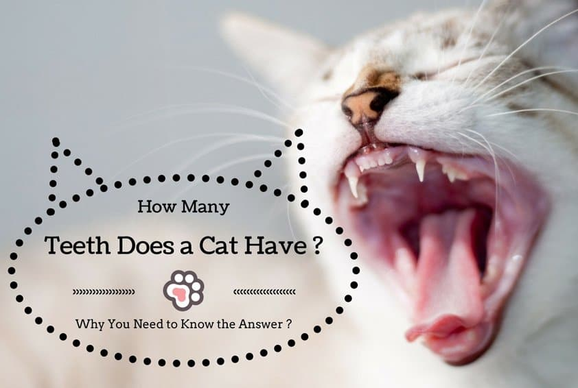 How Many Teeth does a Cat Have ? Why You Need to Know the Answer