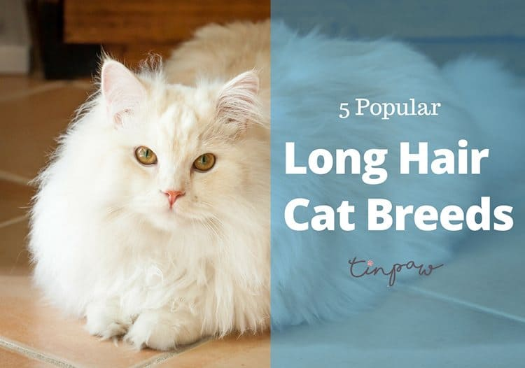Long Hair Cat Breeds: These 5 Popular Breeds Are In The Spotlight