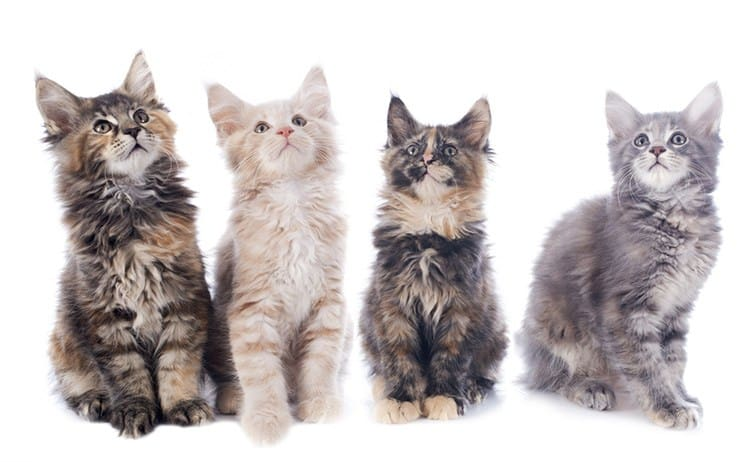 Maine Coon Cats The Big Boned Domestic Cats