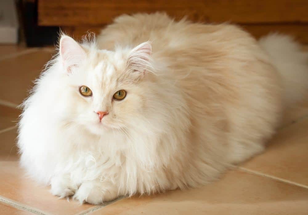 Persian Ragdoll cat long hair