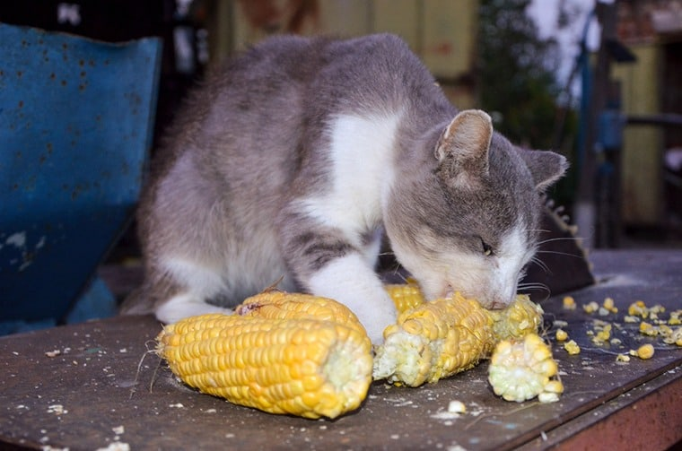 Your Kitty Face Problems When She Eats Corn
