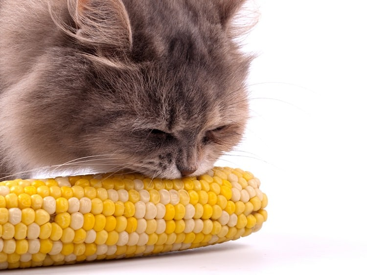 cat eat corn on the cob