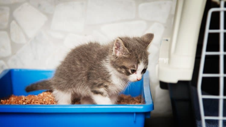 how to potty train your cat in litter box