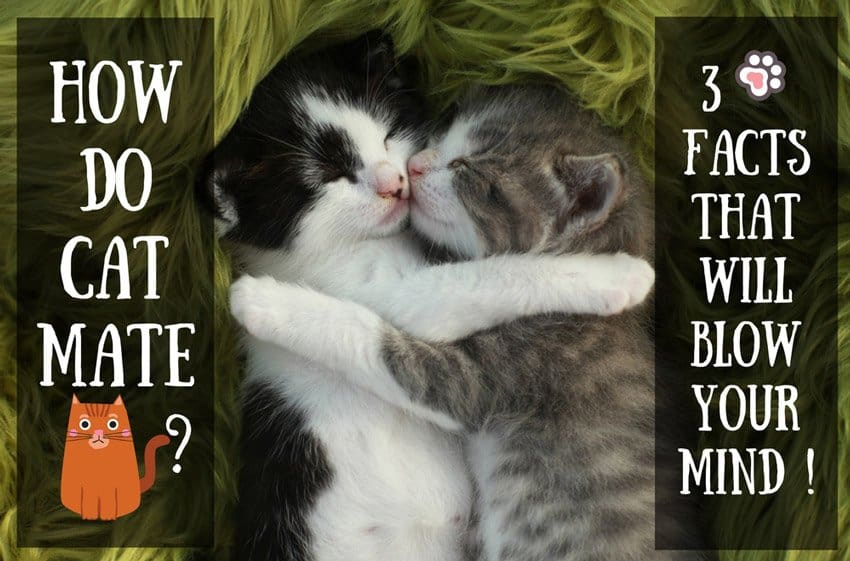How Do Cats Mate ? 3 Facts That Will Blow Your Mind