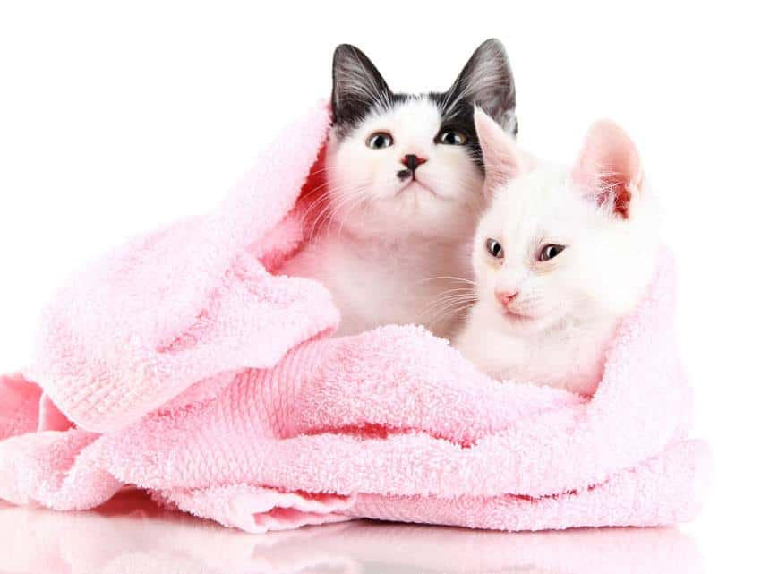 two cats in a towel