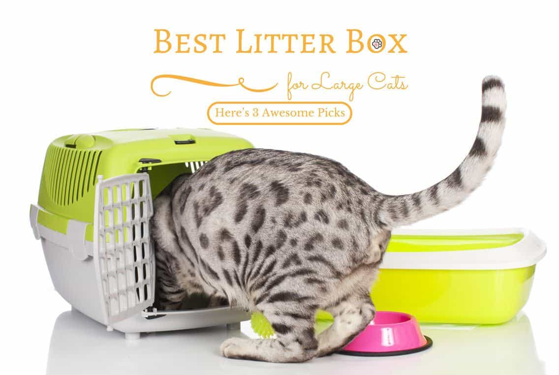 Best Litter Box for Large Cats: Here's 3 Awesome Picks