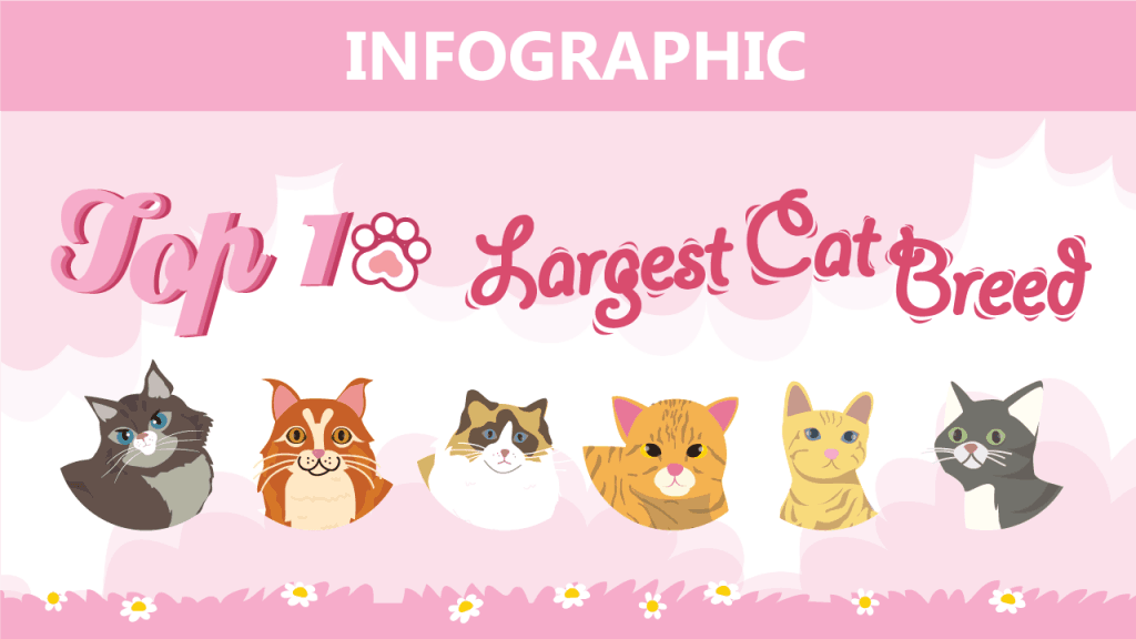 10 Large Domestic Cat Breeds : Simple Facts You Need to Know About Each One