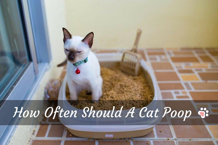 The No.1 Fact You Need to Know: How Often Should A Cat Poop?
