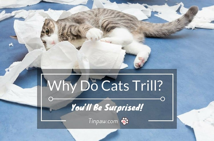 Why Do Cats Trill? You'll Be Surprised!