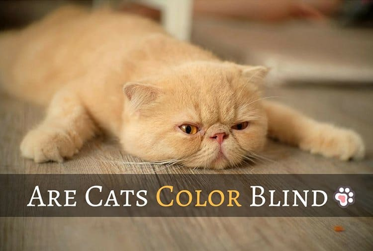 Are Cats Color Blind? 5 Important Things To Know About Your Cat