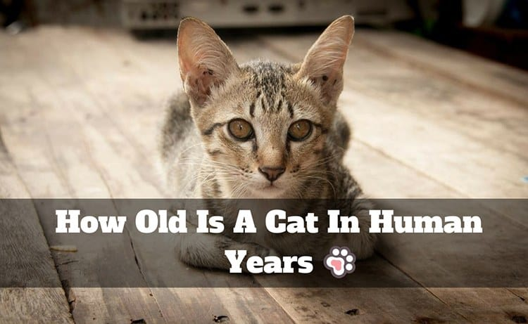 How Old Is A Cat In Human Years