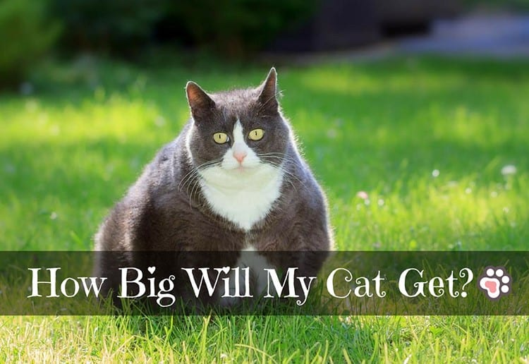 How Big Will My Cat Get? Wonder No More!
