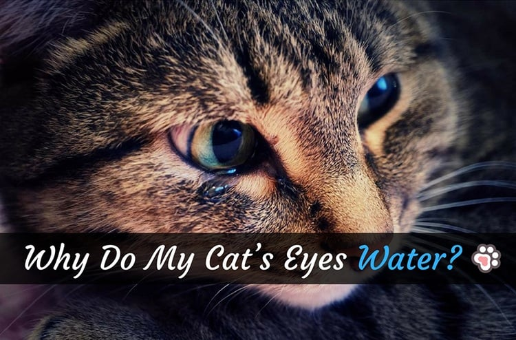 Why Do My Cat's Eyes Water? Worry No More!