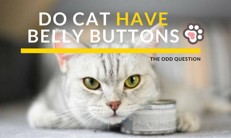 Do Cats Have Belly Buttons? The Odd Question
