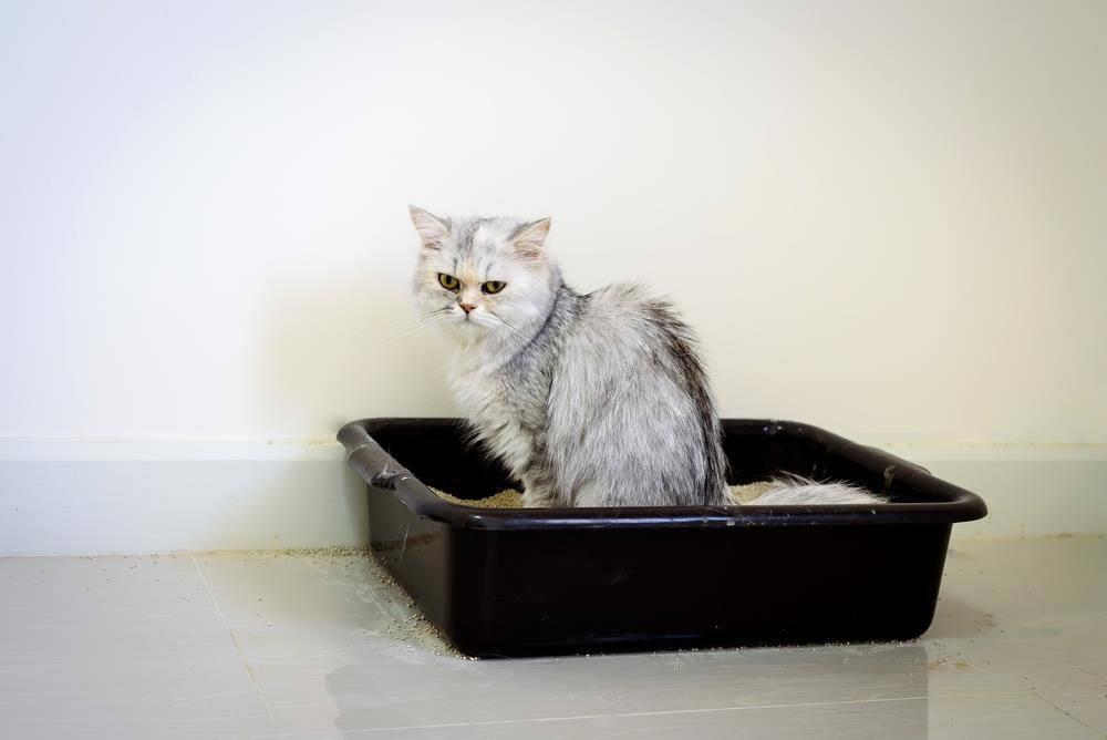 Cat having trouble pooping