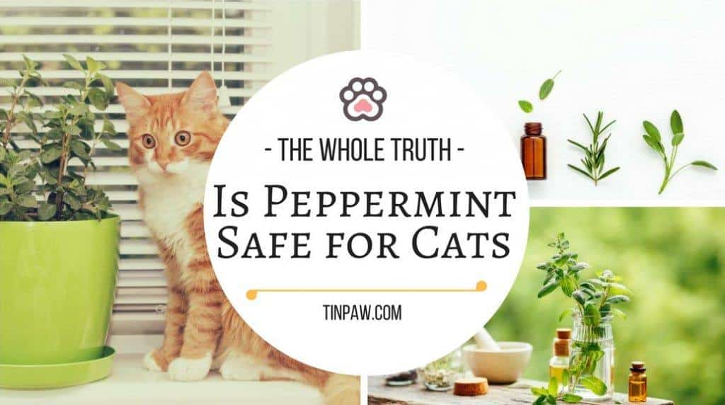Is Peppermint Safe for Cats (1)