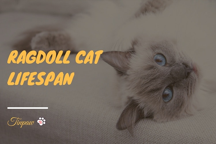 How Long Do Ragdoll Cats Live? A Breed Overview